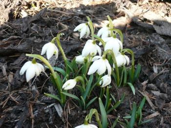 sněženky kvetou často již v únoru