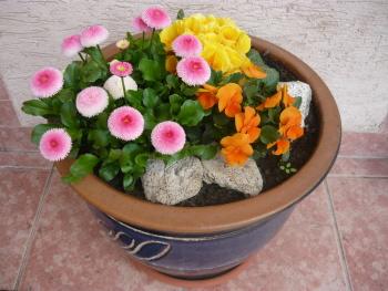 Kombinace sedmikrásek, primule a macešky ve velkém květináči  vypadá moc hezky