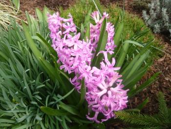 Hyacinty vypadají nádherně, krásně voní a mohou mít různou barvu.