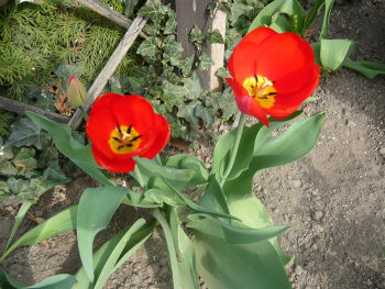Tulipány by neměly na žádné zahrádce chybět
