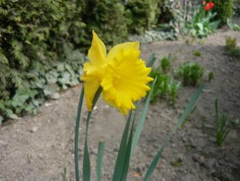 Narcisy zejména ve žluté barvě září na dálku